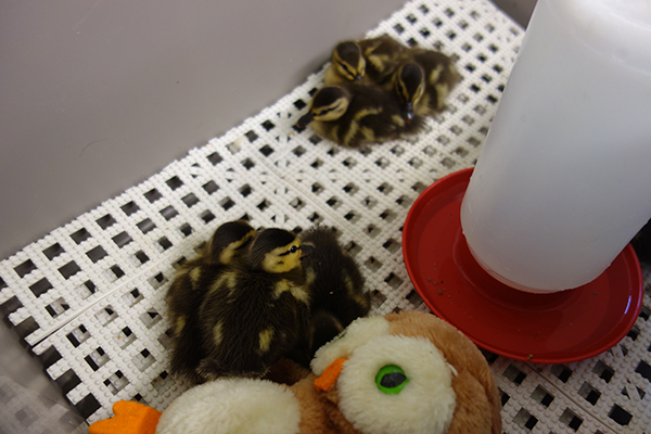 Duckling Care Day One