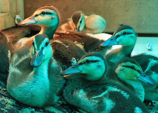 Young Ducklings Wildlife Rescue