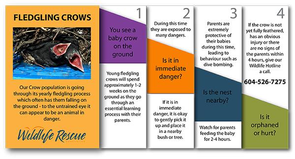 Help Fledgling Crows