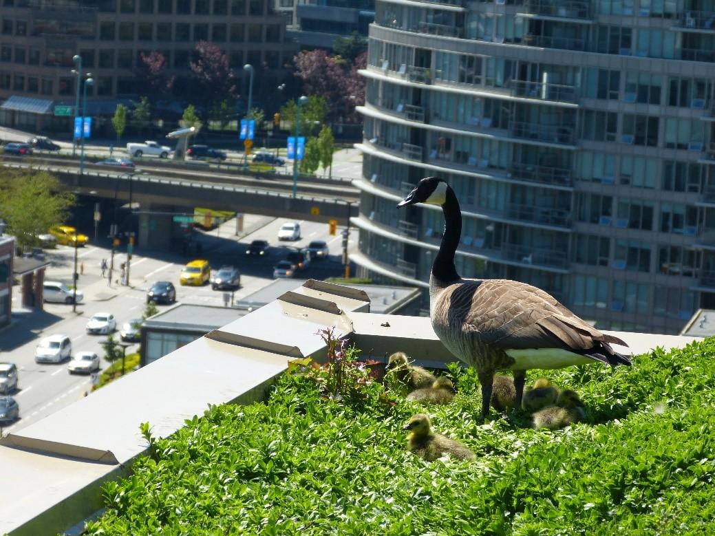 Goose Gosling Rooftop